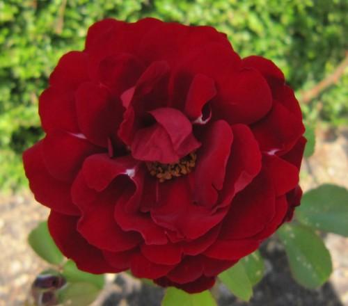 Rosa Avanton 3 perb
